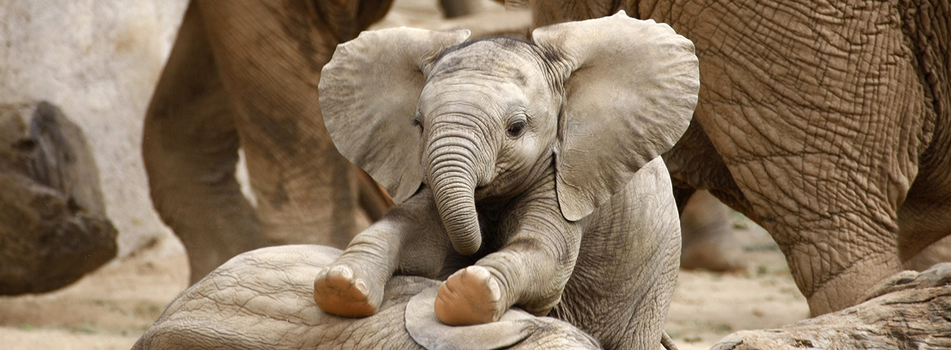 1-_experience_africa_-_baby_elephants_playing_1360x500